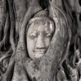 Banyan Embrace