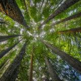 Otway Redwoods
